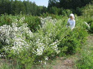 Маточное поле чубушников лето 2007 г