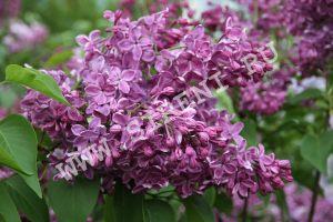 S. h Purple Glory