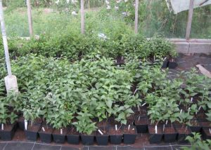 10_Seedlings of lilacs in containers for 2 years