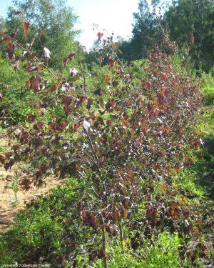 21-Birch-red